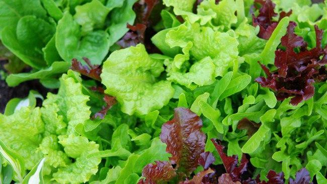 Сорта салата листового фото